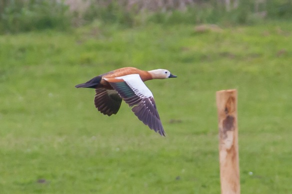 Ruddy shelduck, 21 April 2014