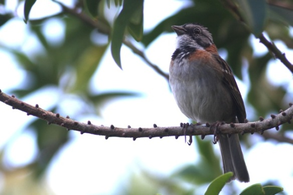 Rufous-collared sparrow, 14 March 2014