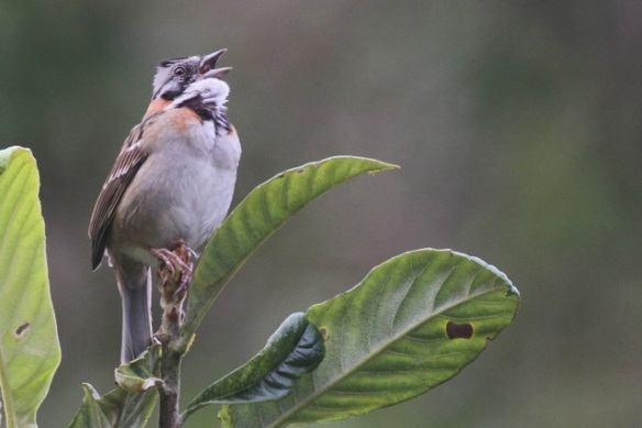 Rufous-collared sparrow, 17 March 2014