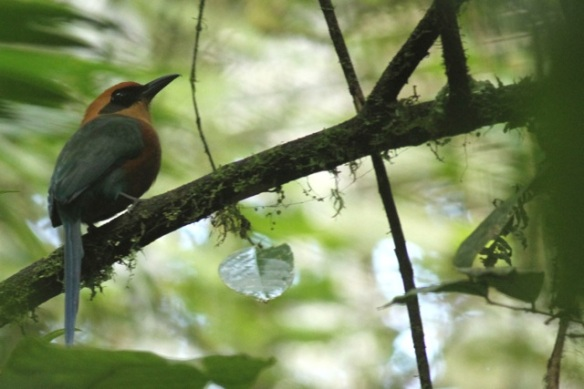 Rufous motmot, 20 March 2014