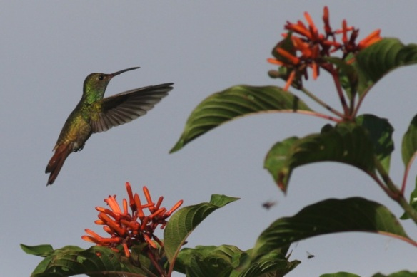 Rufous-tailed hummingbird, 16 March 2014