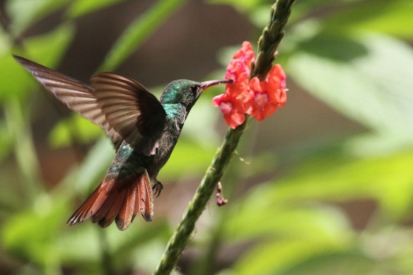 Rufous-tailed hummingbird, 17 March 2014