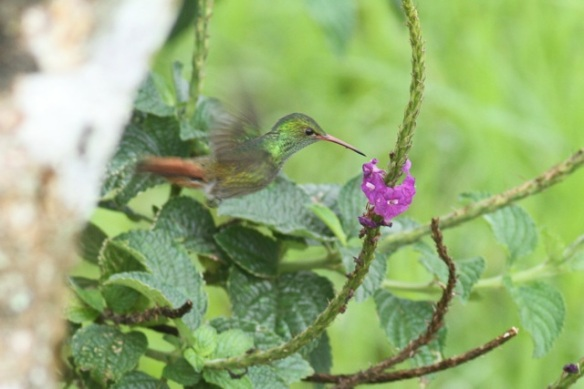Rufous-tailed hummingbird, 20 March 2014