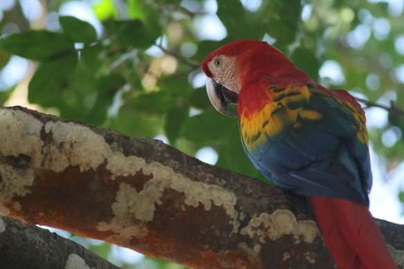 Scarlet macaw, 21 March 2014