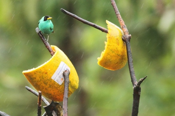 Green honeycreeper male, 20 March 2014