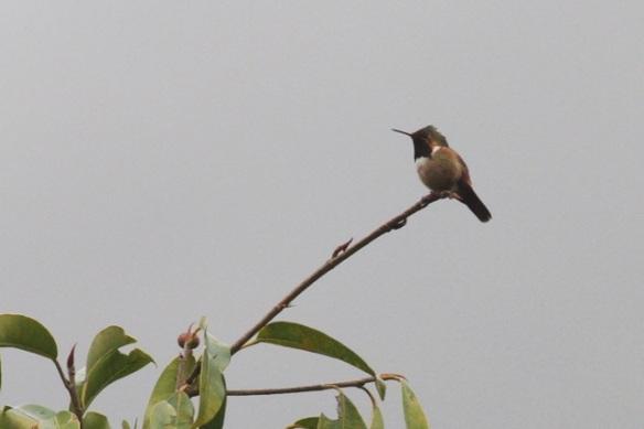 Scintillant hummingbird male, 17 March 2014