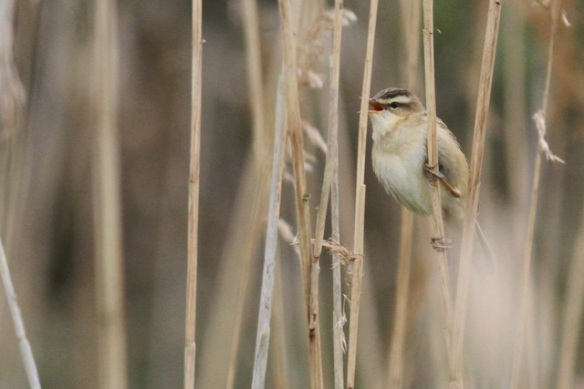 Sedge warbler singing, 27 April 2014