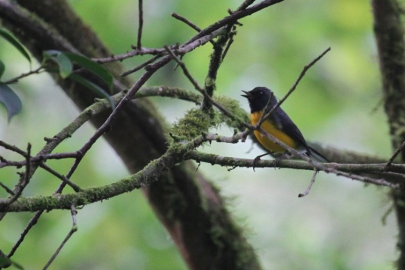 Slate-throated redstart, 18 March 2014