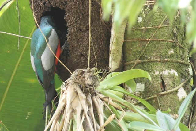 trogon slaty tailed trogon couple story in costa rica dear kitty some blog