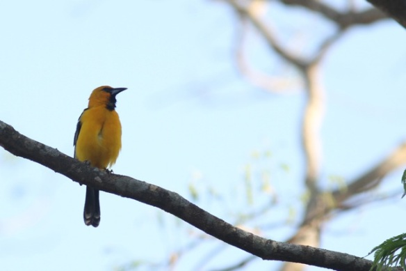 Streak-backed oriole, 22 March 2014