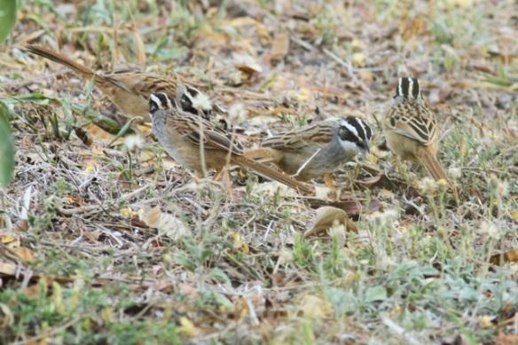Stripe-headed sparrows, 22 March 2014