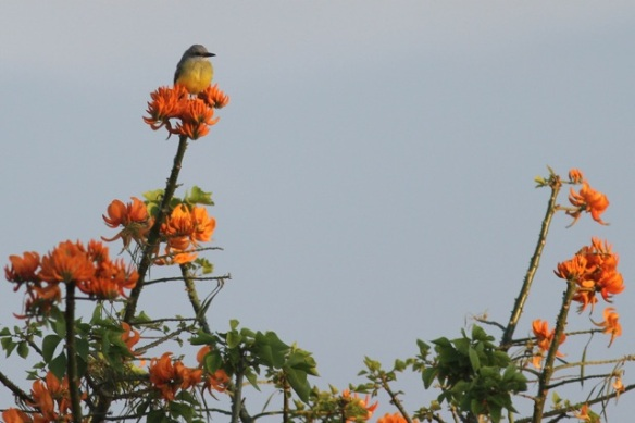 Tropical kingbird, 14 February 2014