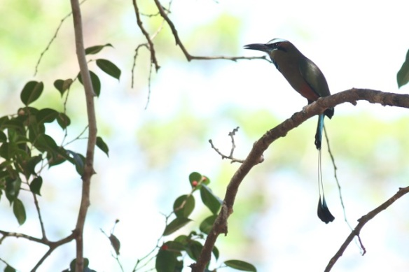 Turquoise-browed motmot, 22 March 2014