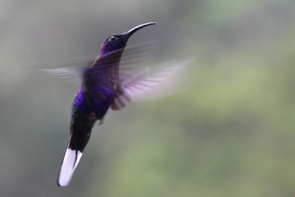 Violet sabrewing male, 17 March 2014