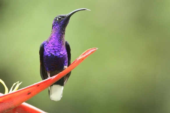 Male violet sabrewing, 18 March 2014