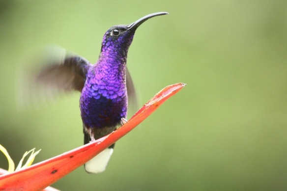 Violet sabrewing male, Costa Rica, 18 March 2014