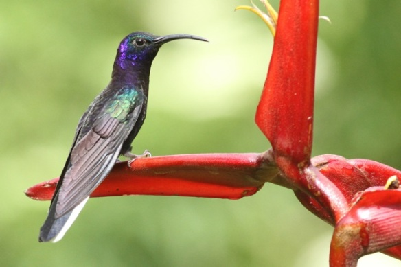 Violet sabrewing male, in Costa Rica, 18 March 2014