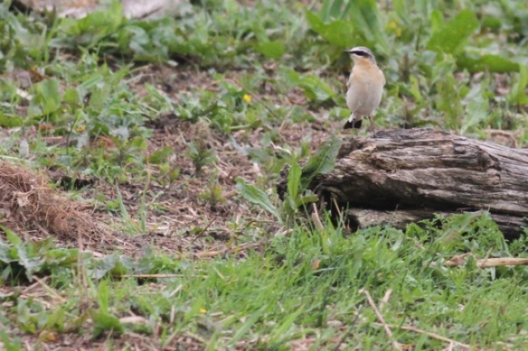Wheatear, 27 April 2014
