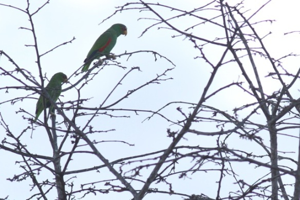 White-fronted parrots, 21 March 2014
