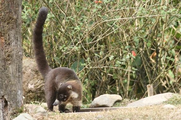 White-nosed coati, 18 March 2014