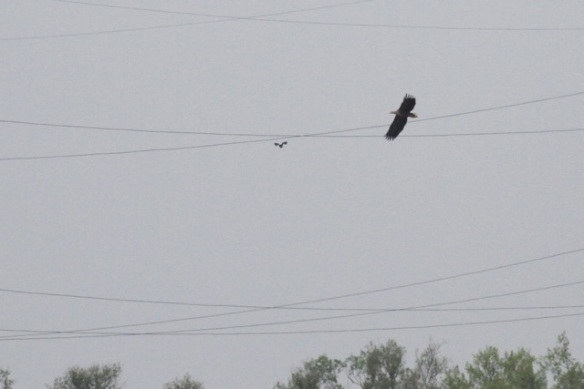 White-tailed eagle flying, 27 April 2014