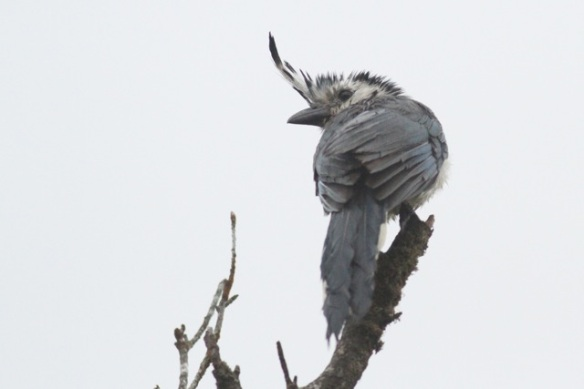 White-throated magpie jay, 21 March 2014
