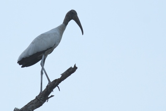 Wood stork, 21 March 2014