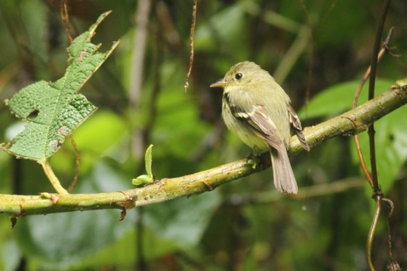 Yellow-bellied flycatcher, 21 March 2014