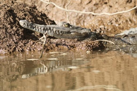 American crocodile, 25 March 2014