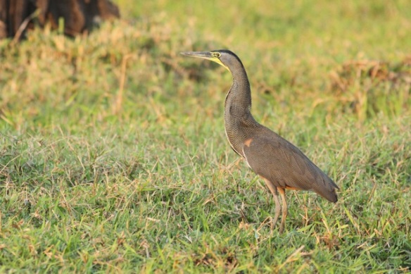 Bare-throated tiger heron, 22 March 2014