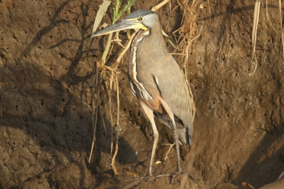 Bare-throated tiger heron, 25 March 2014