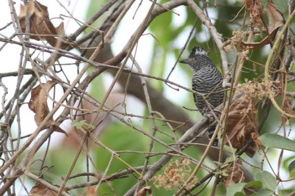 Barred antshrike male, 25 March 2014