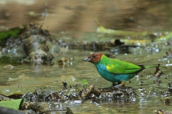 Bay-headed tanager, 24 March 2014