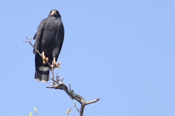 Black hawk, 25 March 2014