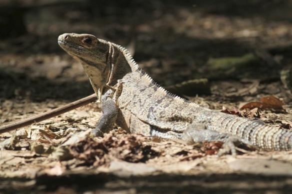 Black iguana, 24 March 2014