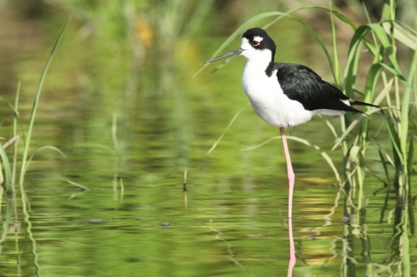 Black-necked stilt, 25 March 2014