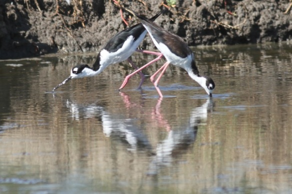 Black-necked stilts, 23 March 2014