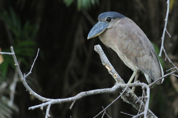 Boat-billed heron, 22 March 2014