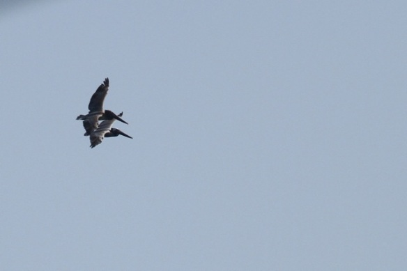 Brown pelicans, 23 March 2014