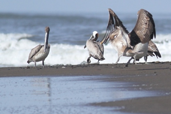 Brown pelicans, 25 March 2014