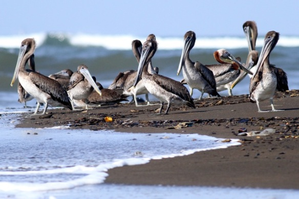 Brown pelicans, on 25 March 2014