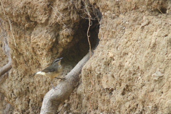 Buff-rumped warbler, 25 March 2014