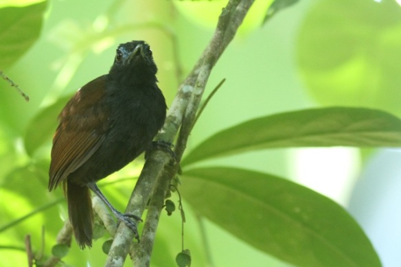 Chestnut-backed antbird, 24 March 2014