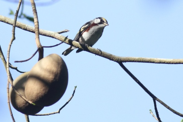Chestnut-sided warbler male, 24 March 2014