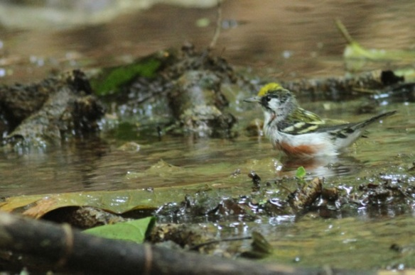 Chestnut-sided warbler male in stream, 24 March 2014