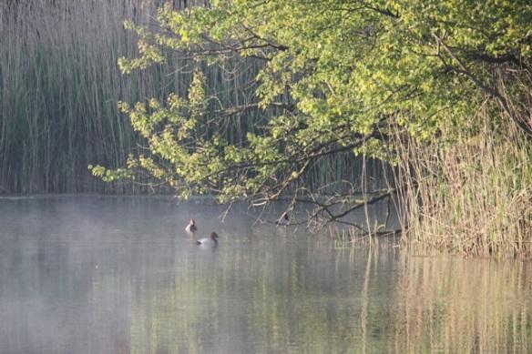 Common pochards, 25 May 2014