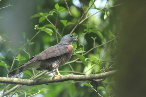 Double-toothed kite, 24 March 2014