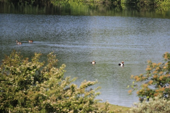 Egyptian geese and red-crested pochards, 17 May 2014