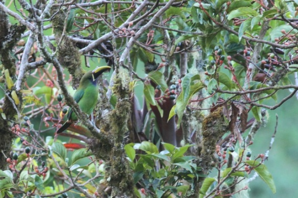 Emerald toucanet, 27 March 2014