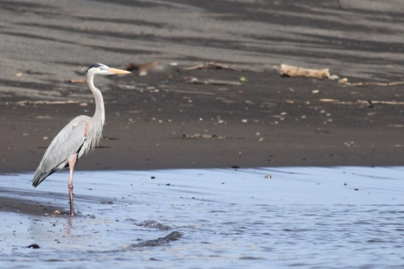 Great blue heron, 25 March 2014